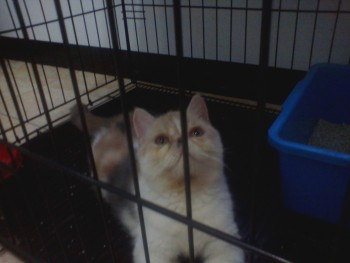 Juragan kita mau nawarin kucing Exotic betina warna